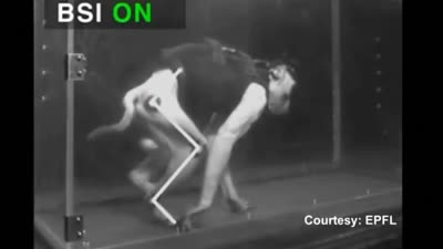 Paralyzed monkey walks again after brain spine implant